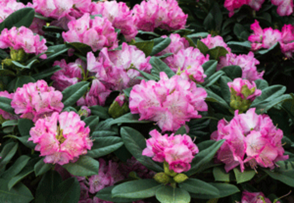 Rhododendrons Spring Planting And Care Tips Horticulture