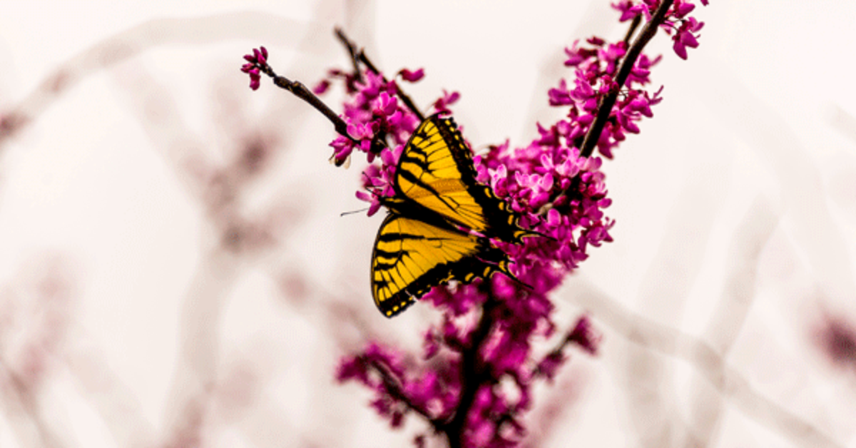 A Texas swallowtail butterfly feeds from a redbud tree (Cercis canadensis).