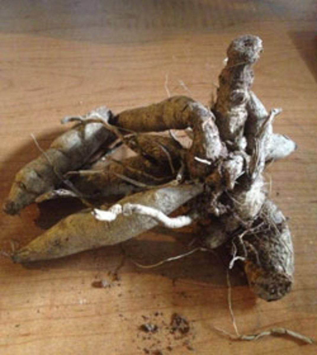 dahlia tuber