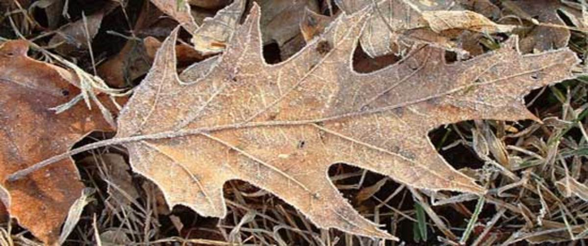 Frosty oak leaf