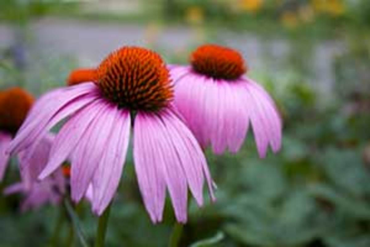 """Permaculture embraces plants with multiple, or """"stacking"""" functions, like this echinacea which is both medicinal and a pollinator-attractor."""