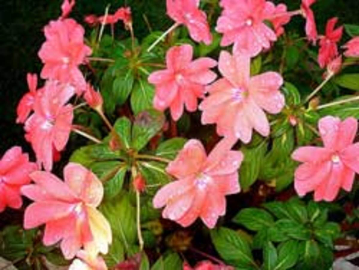 Avoid Impatiens And Try These Other Shade Annuals Horticulture