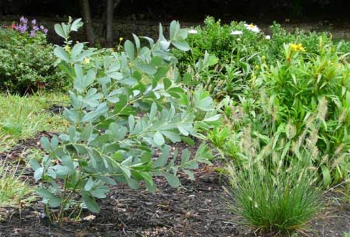 Above, to the left, is the Baptisia australis I moved last spring. (Bent over from some recent rain.)