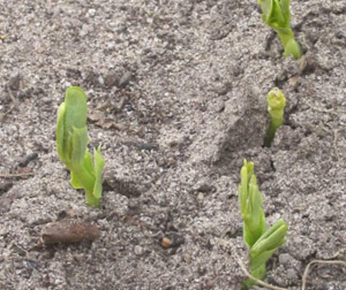 pea seedlings