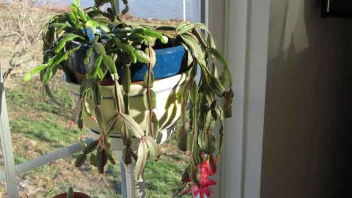 Crecimiento de Cactus de Navidad, Cuidado Consejos, Foto - Schlumbergera bridgesii