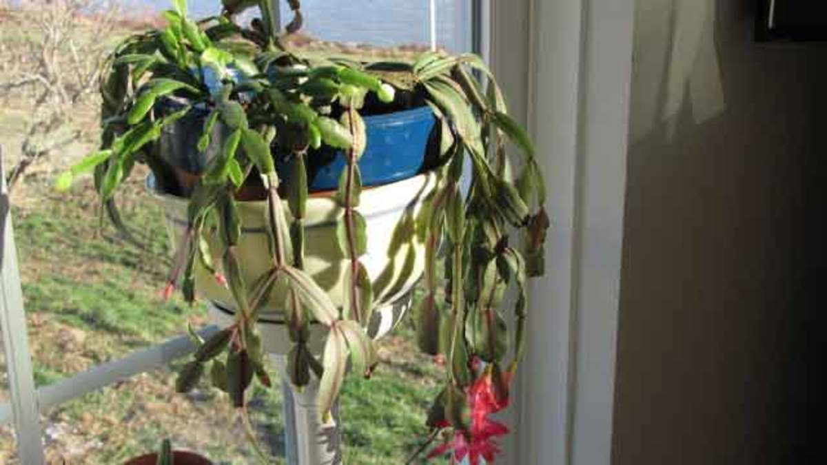 wiliting christmas cactus