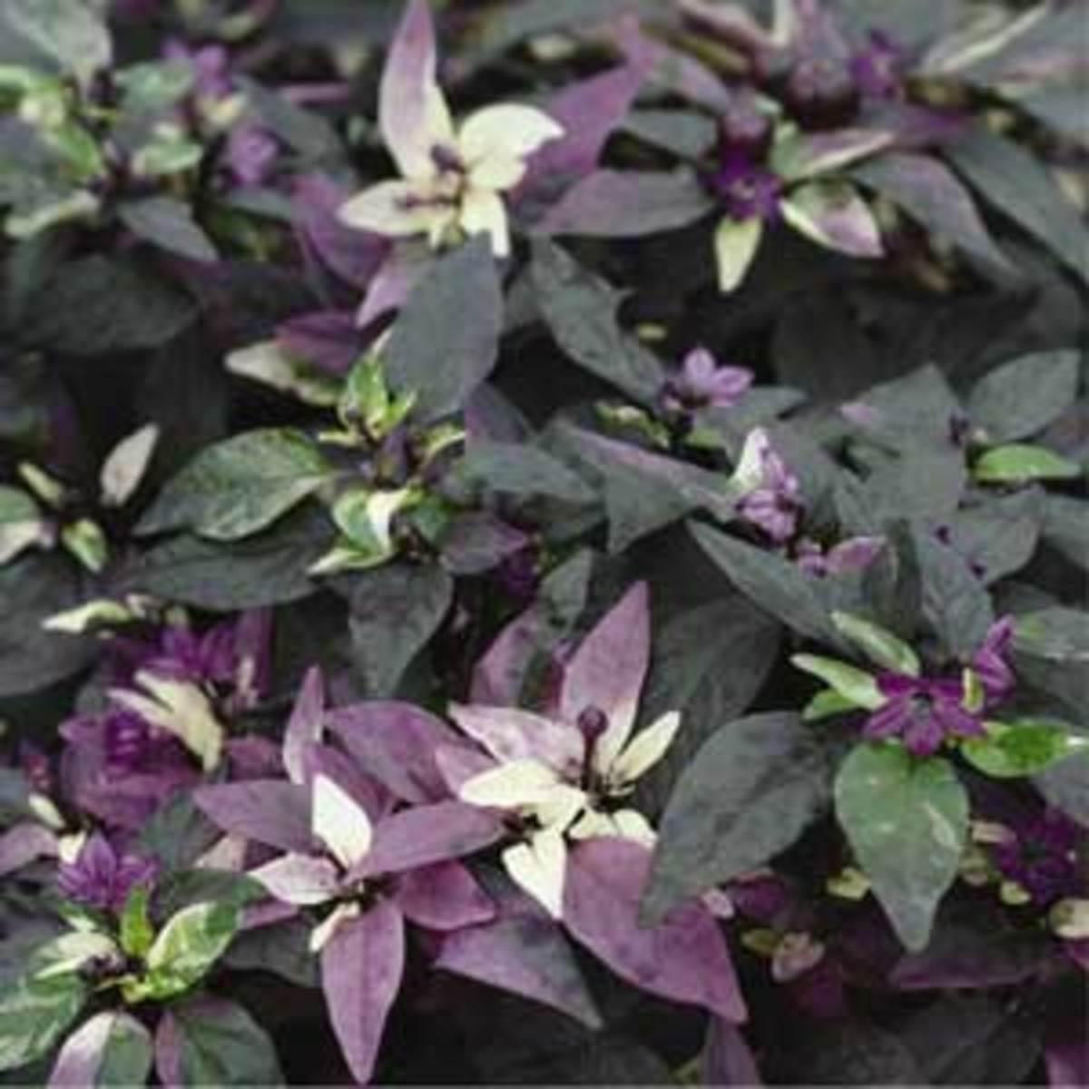 'Purple Flash' pepper
