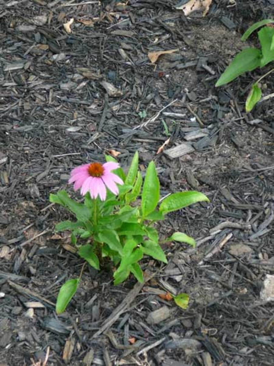 Echinacea 'Mistral'