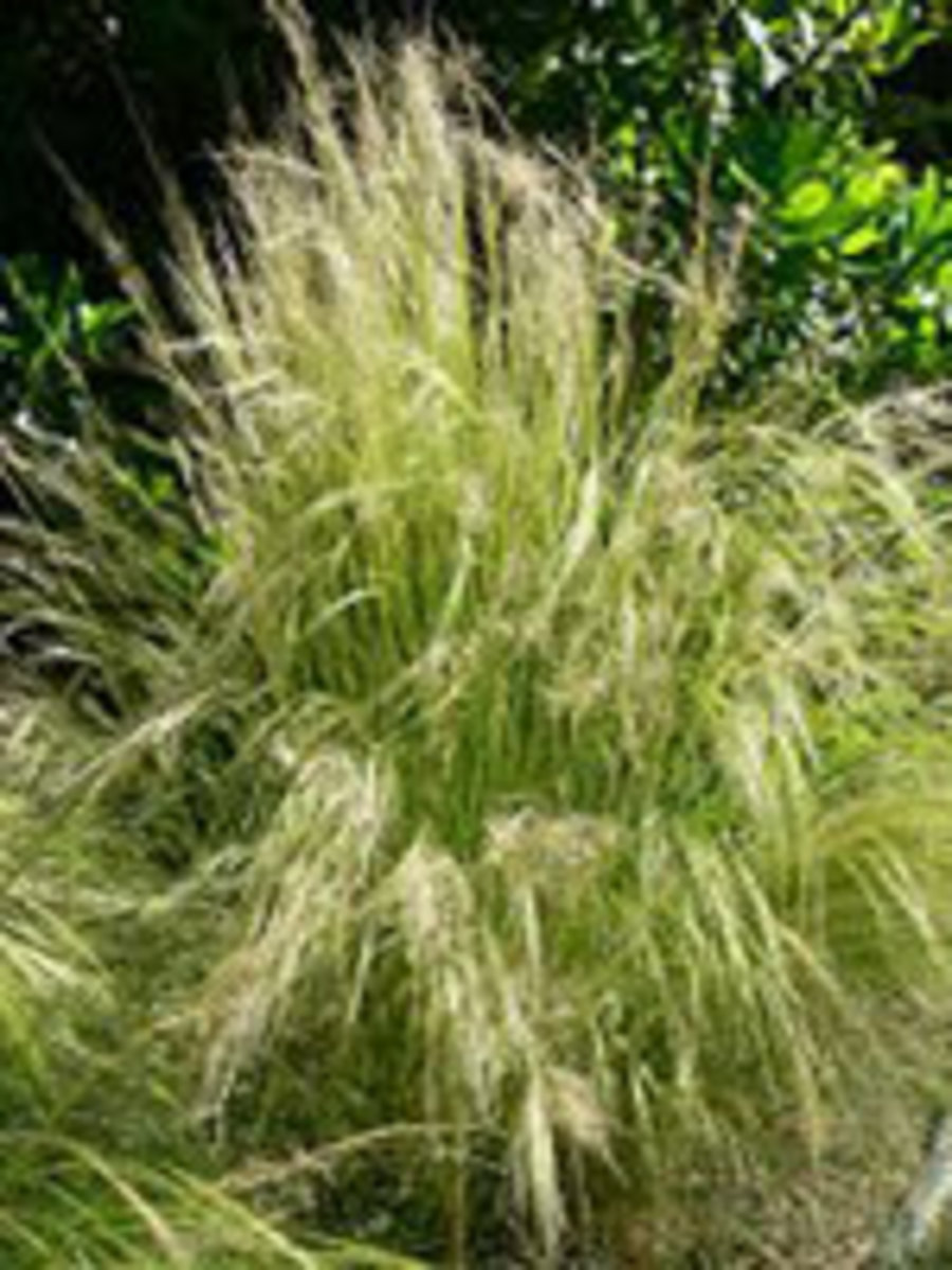 nassella tenuissima mexican feather grass