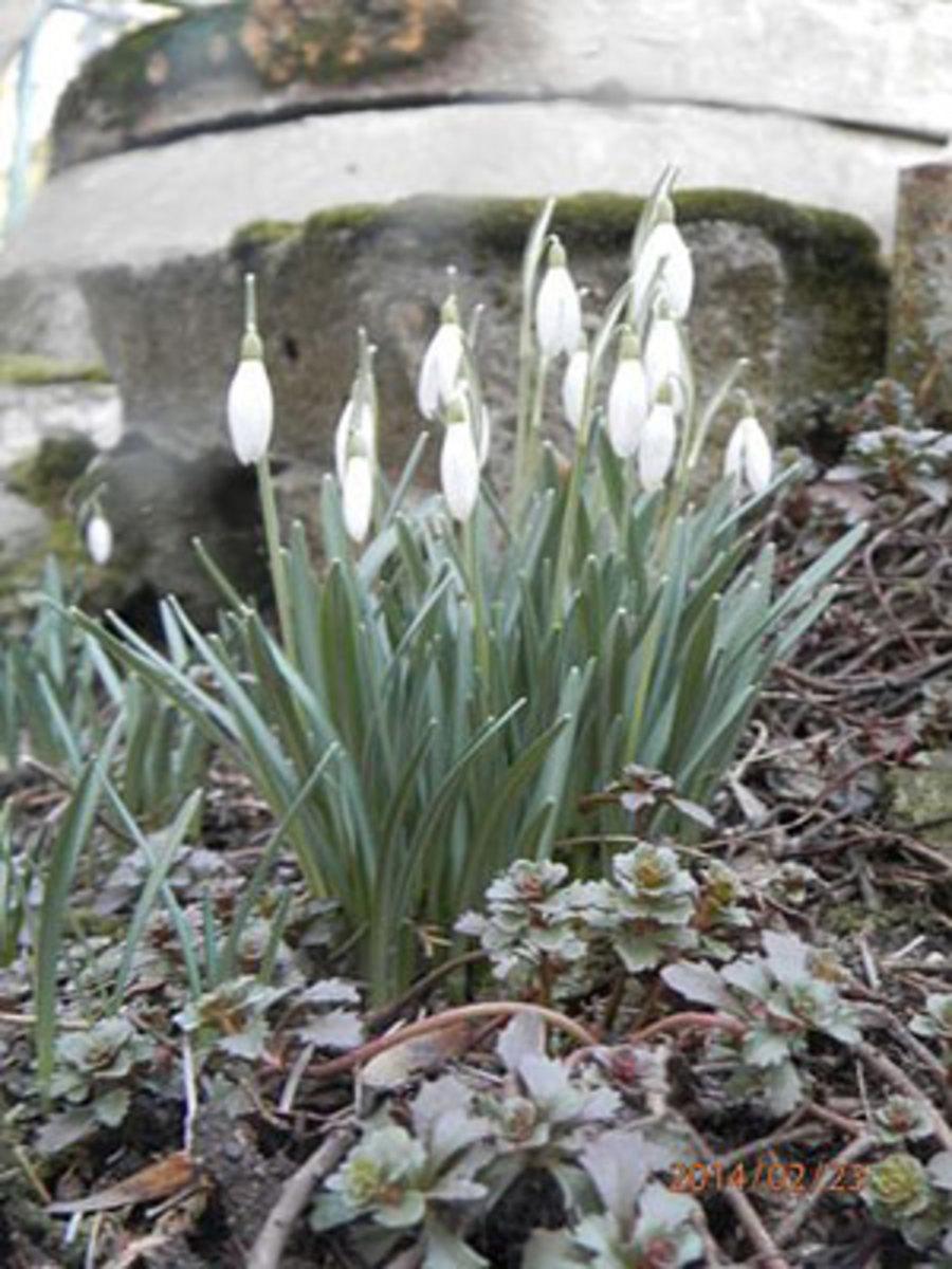 snowdrops rock garden