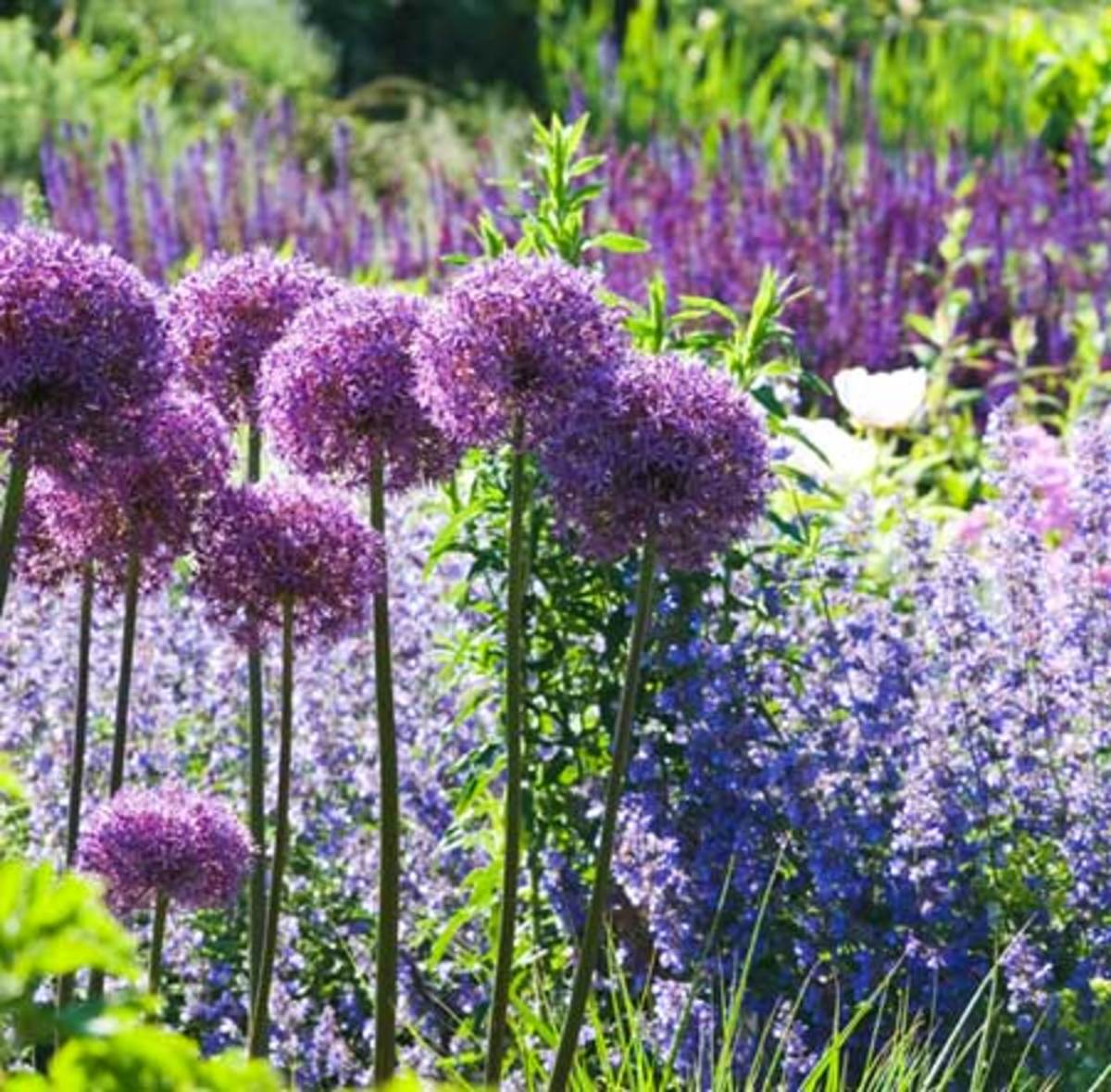 Spheres of allium mingle with 'Walker's Low' catmint while salvia blooms farther back.
