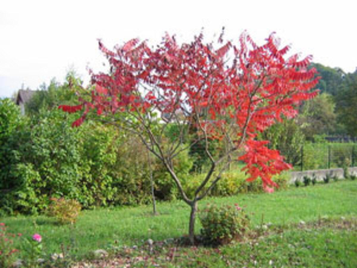 fall foliage staghorn sumac