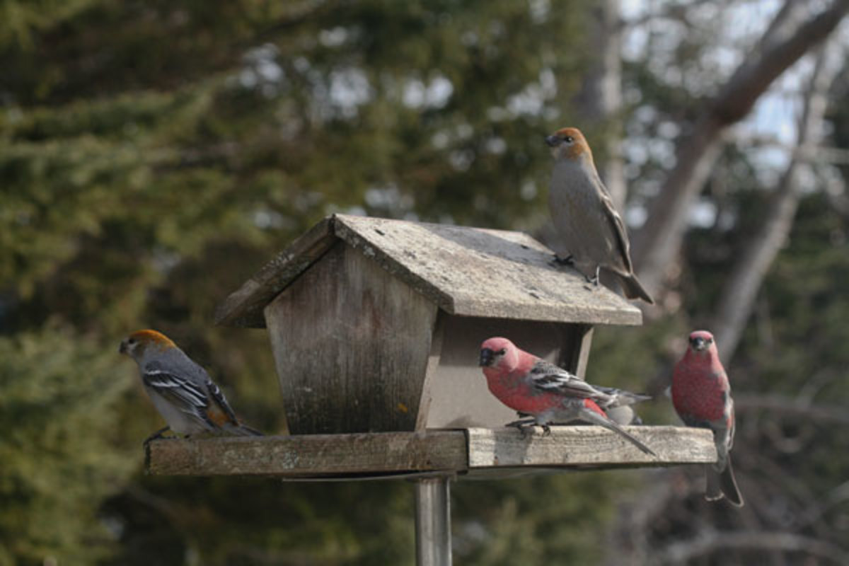 Pine_Grosbeaks_at_a_bird_feeder,_Ontario