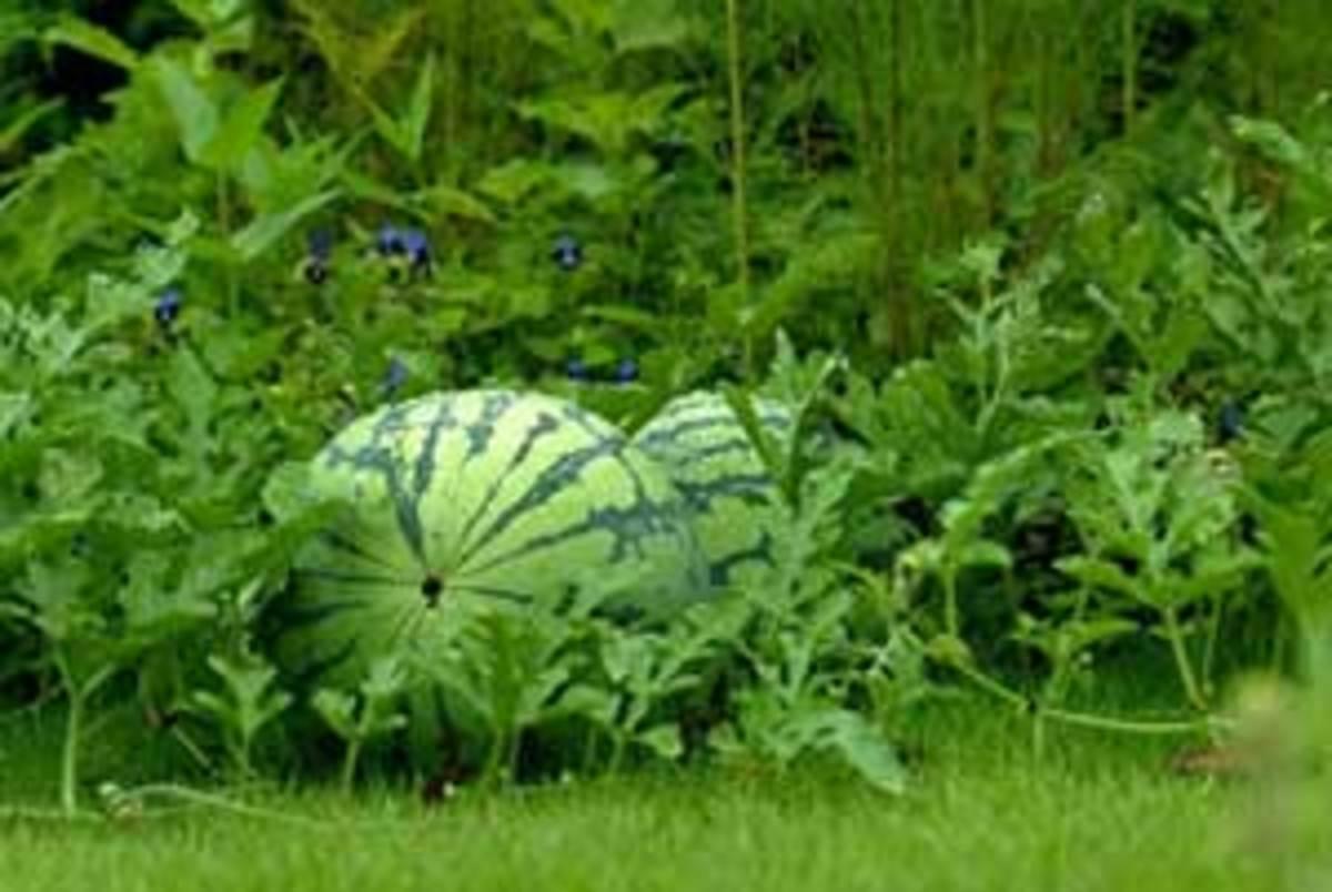 Watermelons reaching maturity