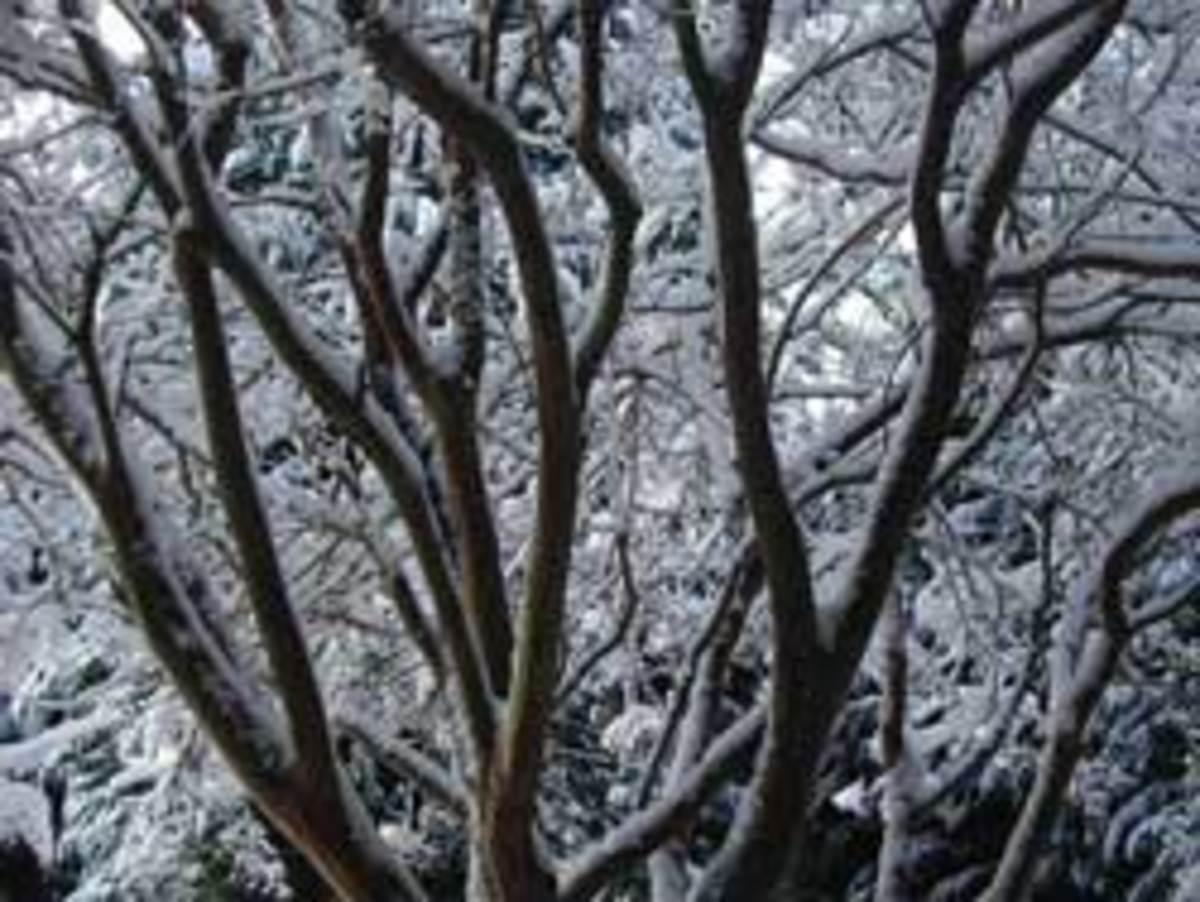 crepe myrtle treetop