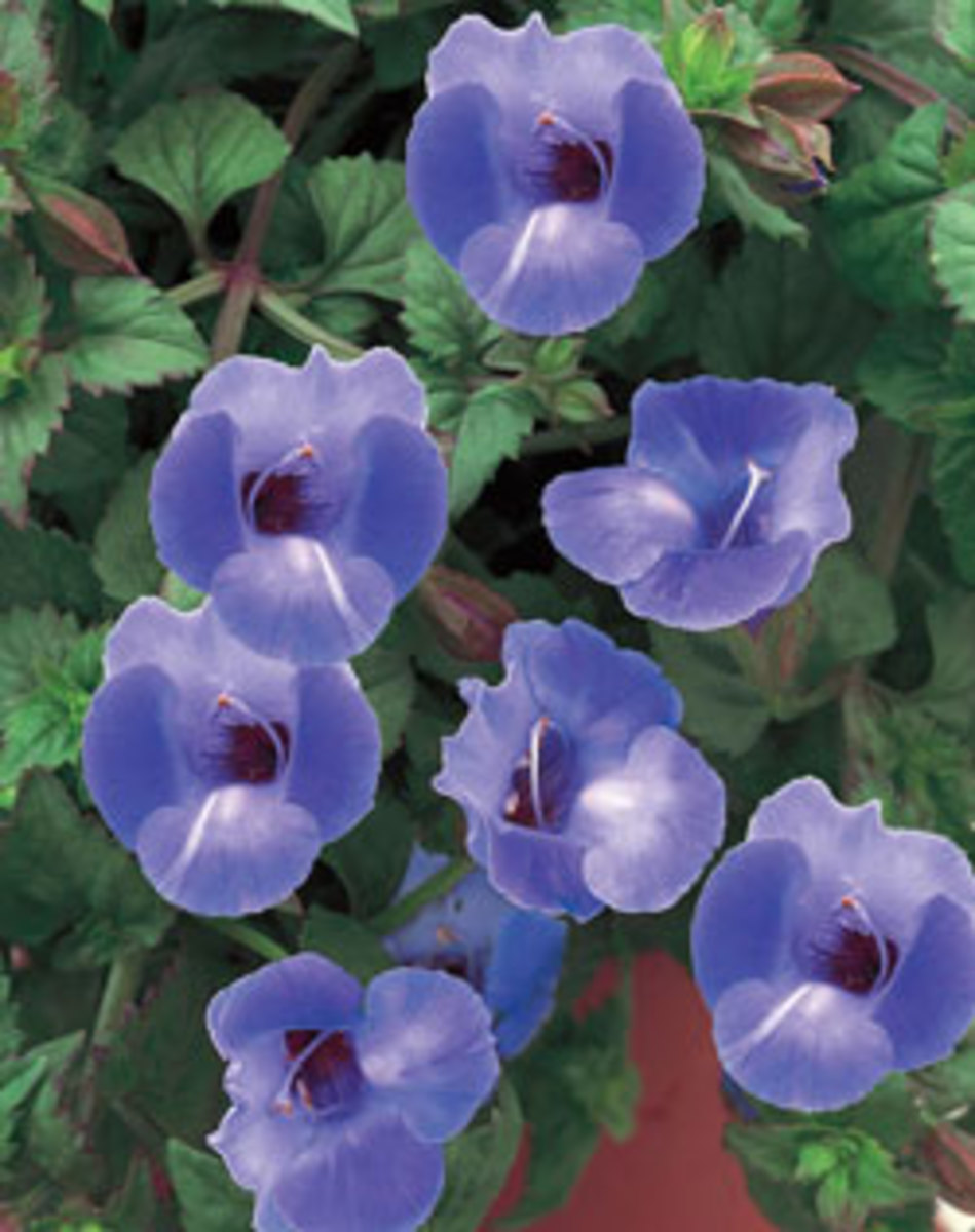 summer wave large blue torenia