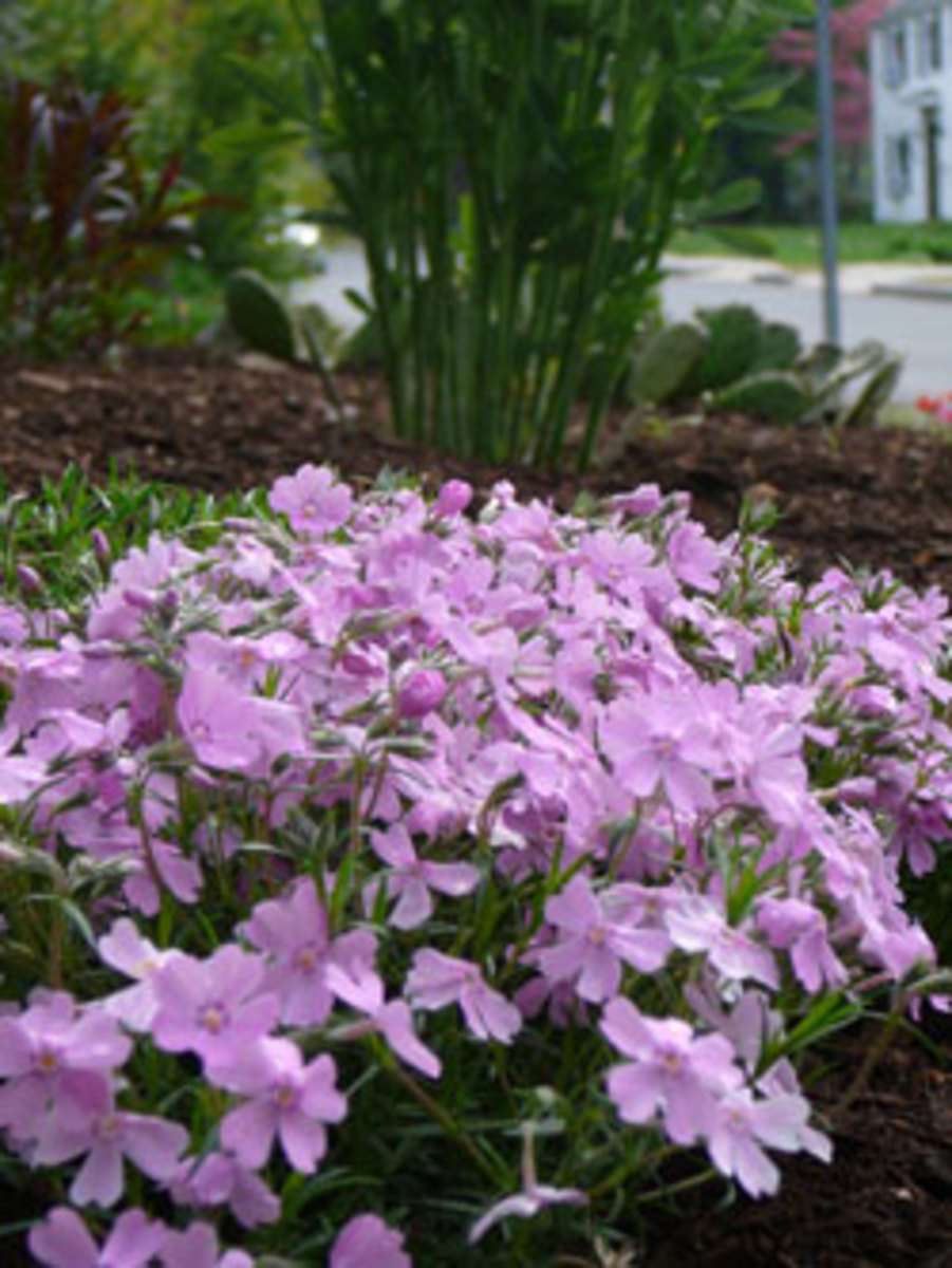 creeping phlox phlox subulata