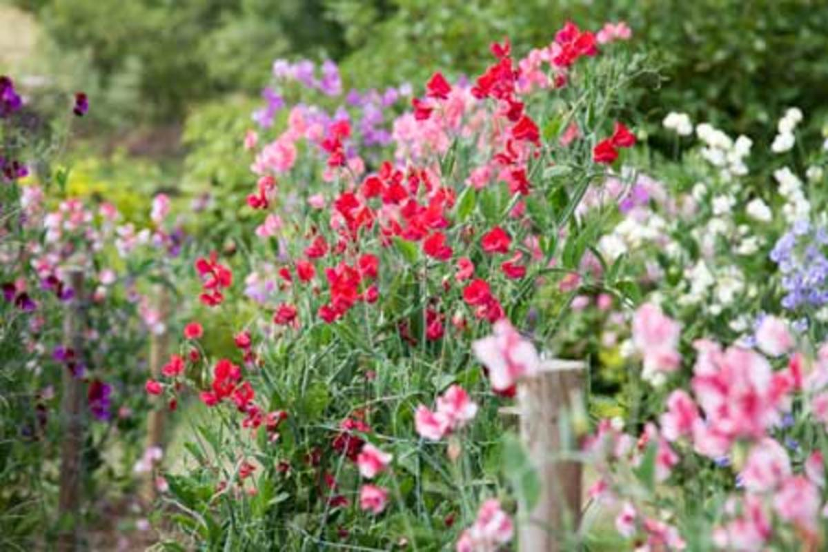 old-fashioned flowers sweet peas