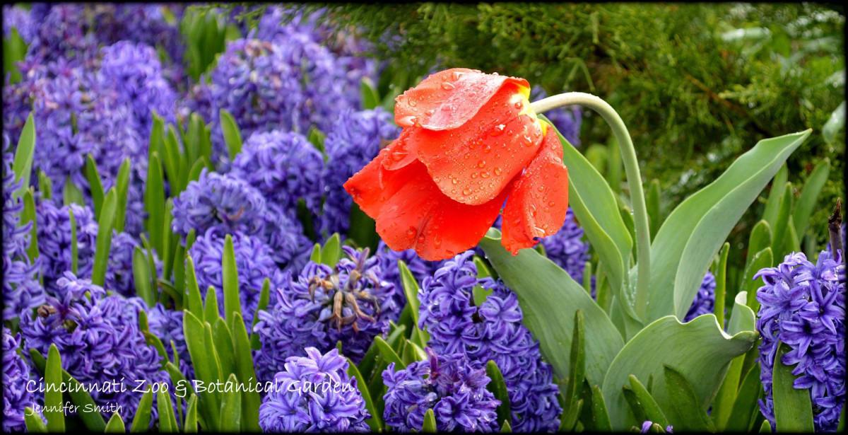 Single Tulip Horticulture