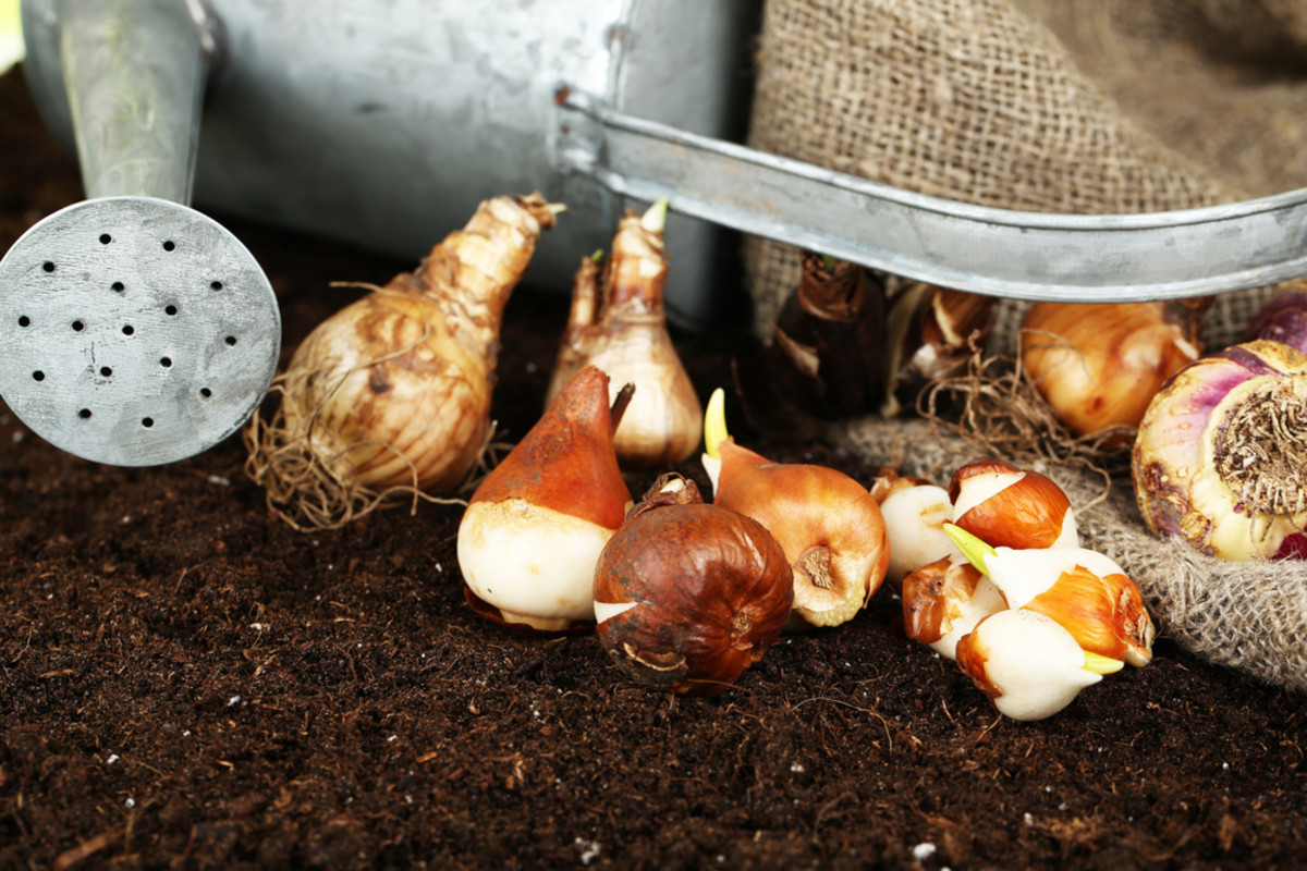 Bulb planting Horticulture