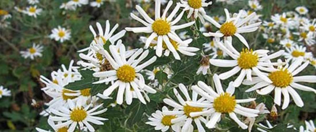 Chrysanthemum yezoense