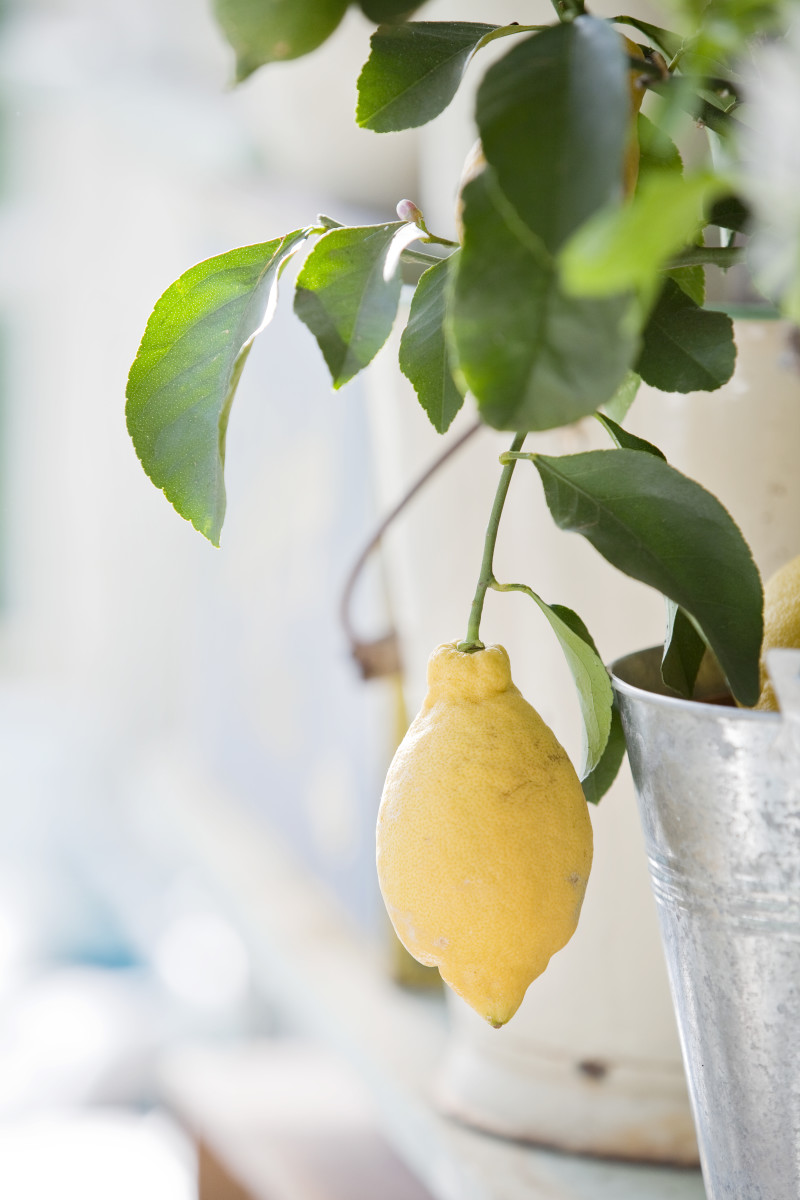 potted citrus