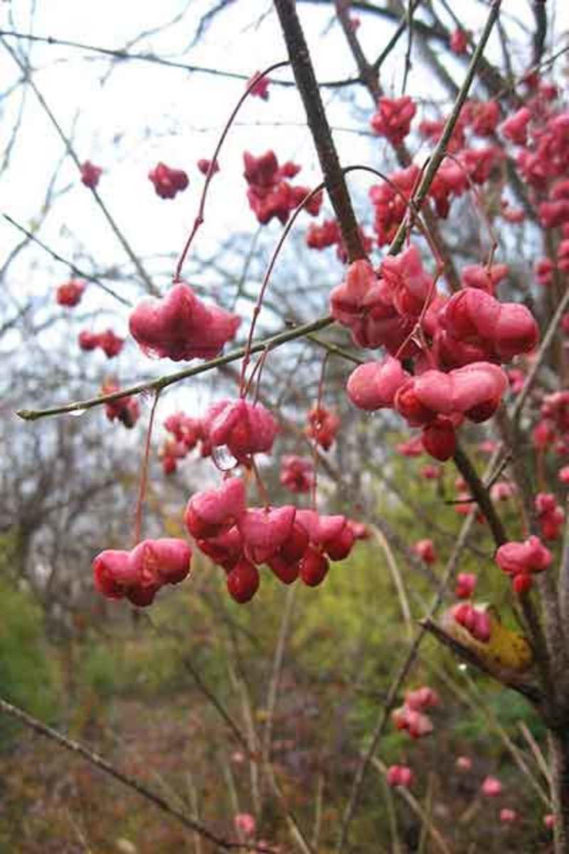 Wahoo berries