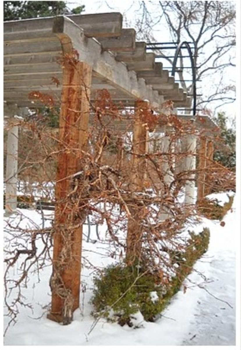 Jenny Koester hydrangea vine winter