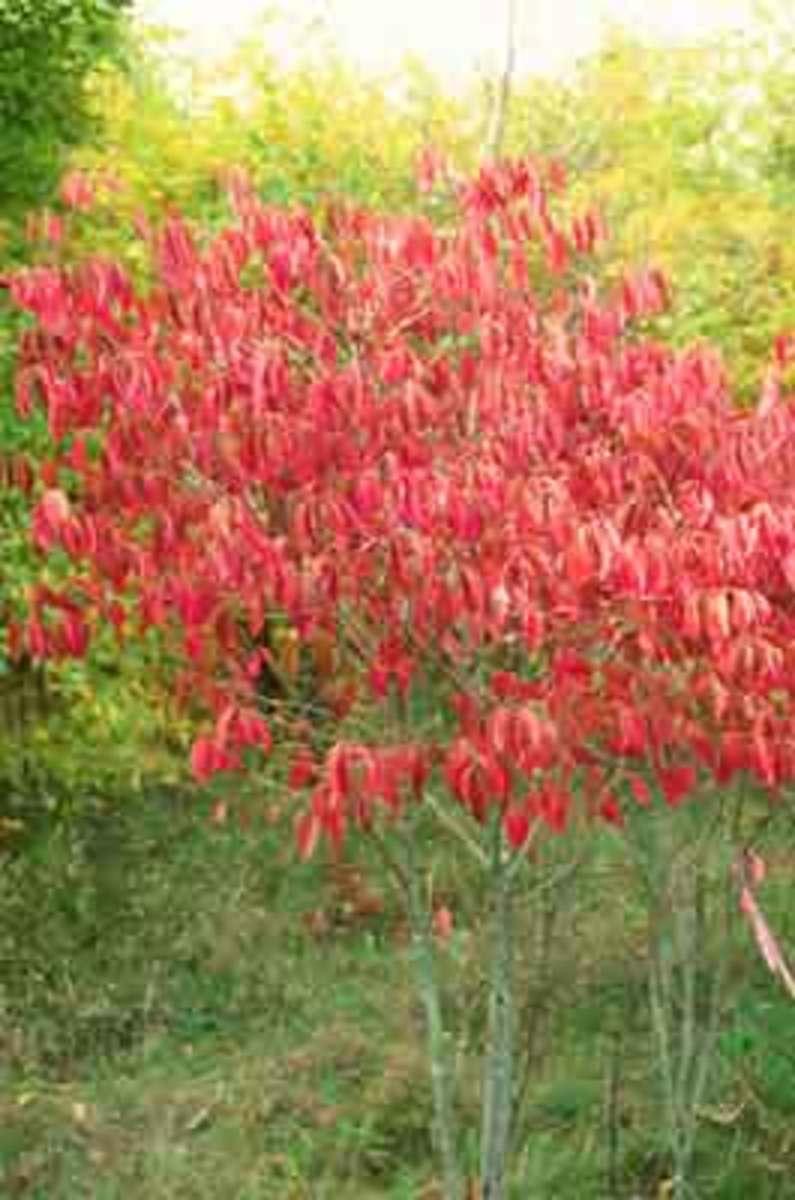Wahoo fall color