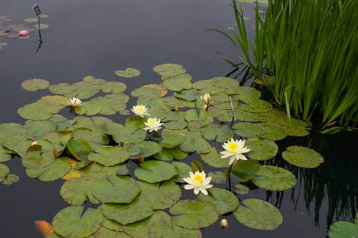 Water Lilies and Pads at New York Botanical Garden