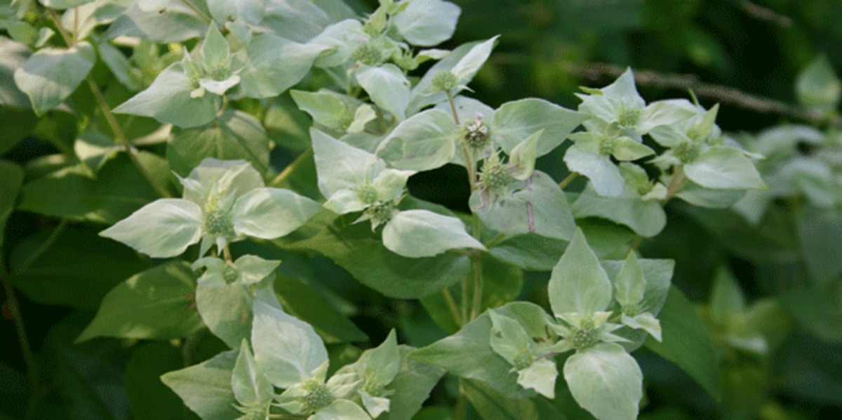 short toothed mountain mint