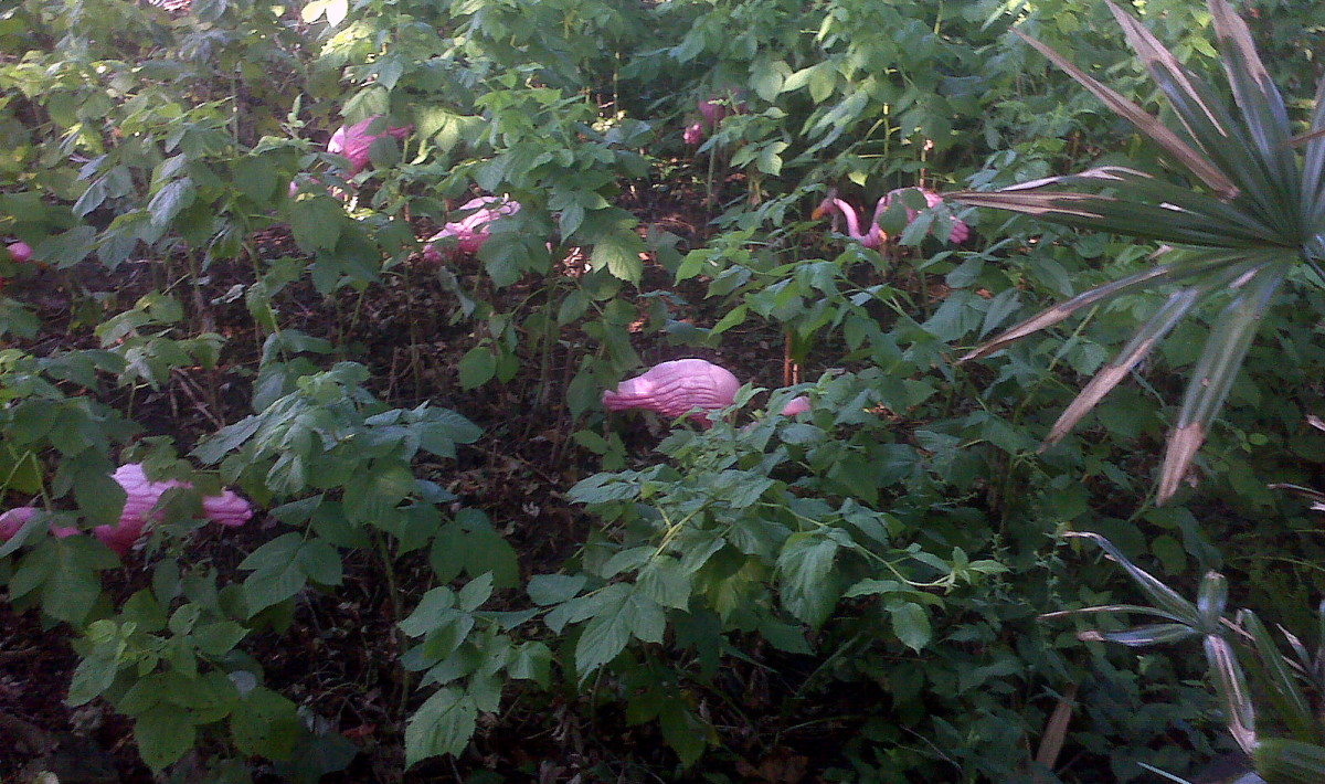 Dollar Spot flamingos I bought earlier this year hiding in the raspberru patch