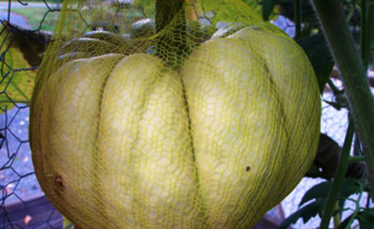 kikuza pumpkin