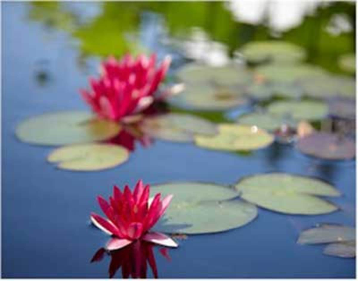 Healthy, Pink Water Lilies