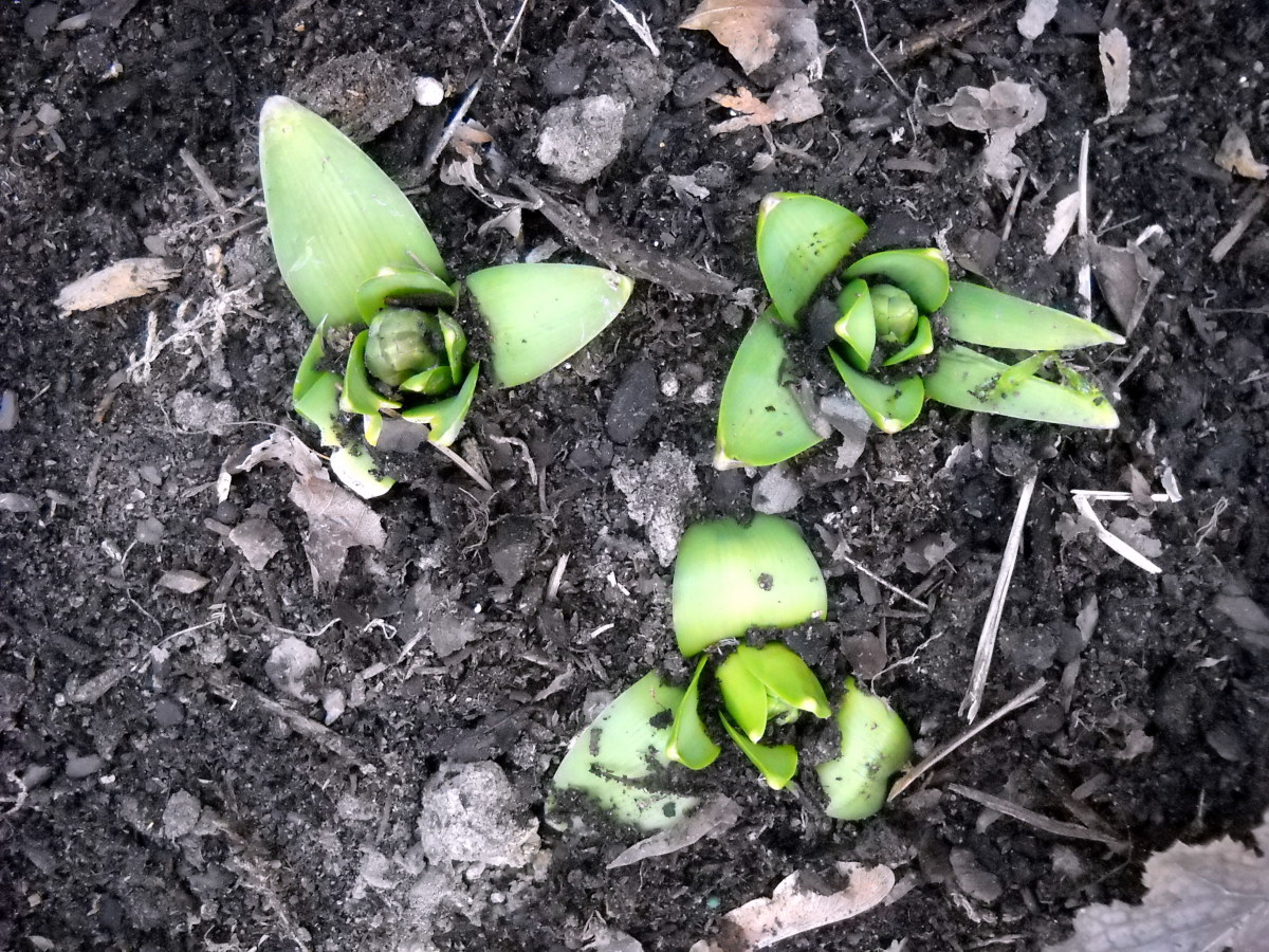 These blue hyacinths are also in their third trimester...