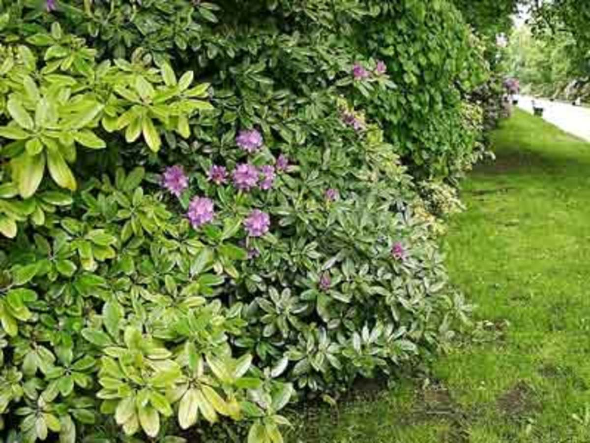 rhododendron hedge