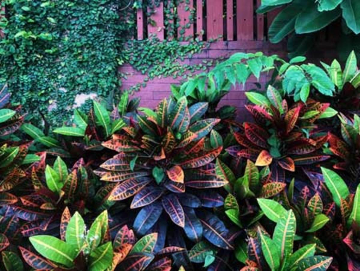 houseplants outside croton
