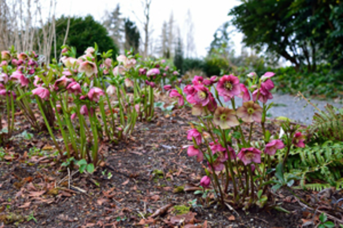 Hellebore Care Tips And Propagation Plus Companions Horticulture