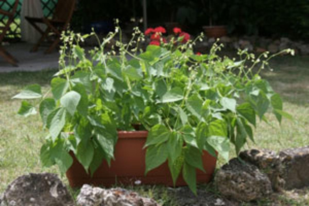 mascotte bush bean