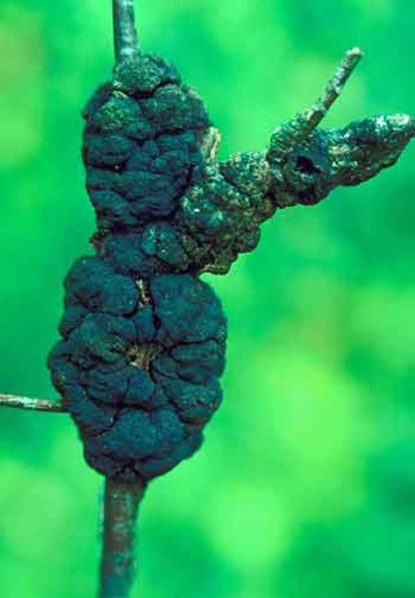 black knot disease