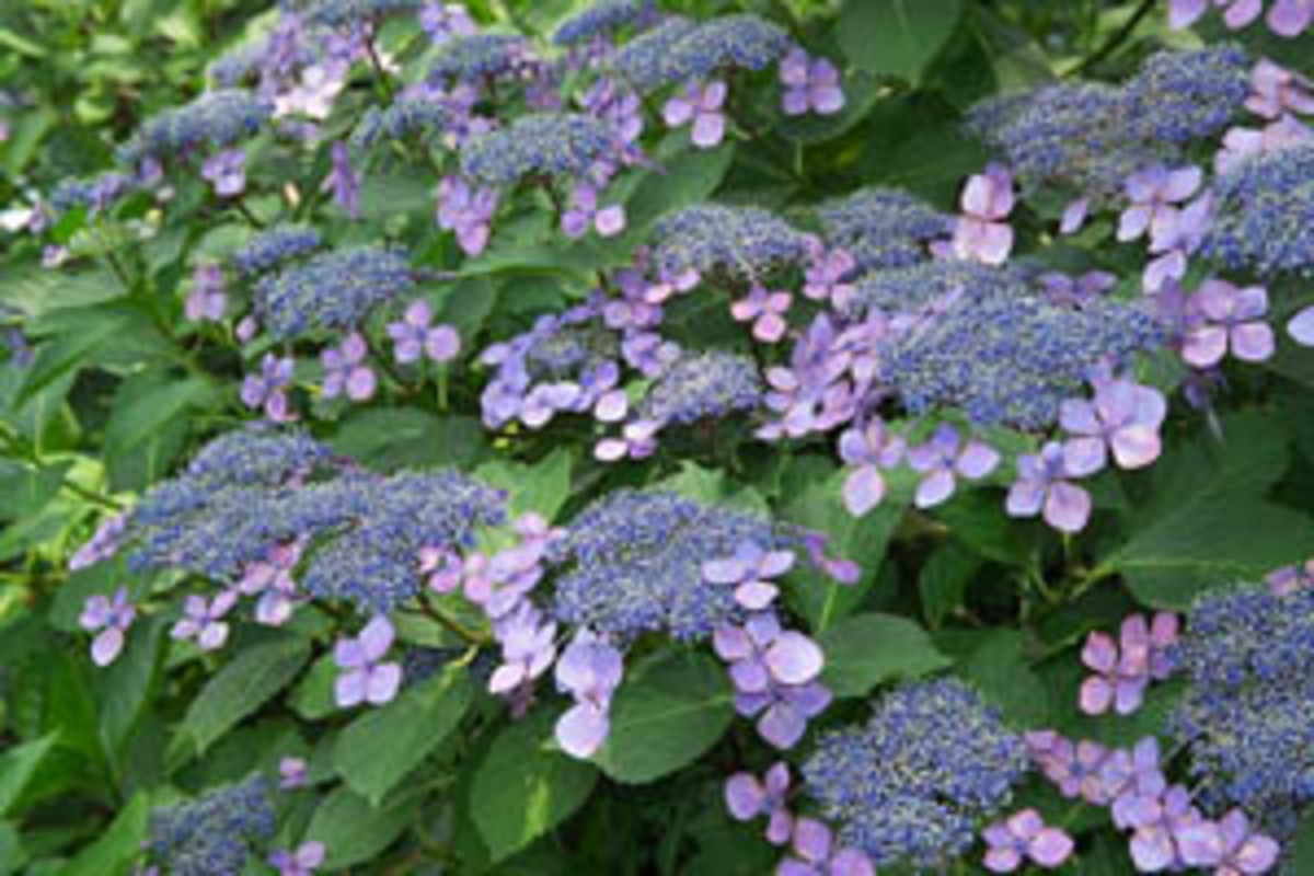 Pruning Hydrangea for Fullness