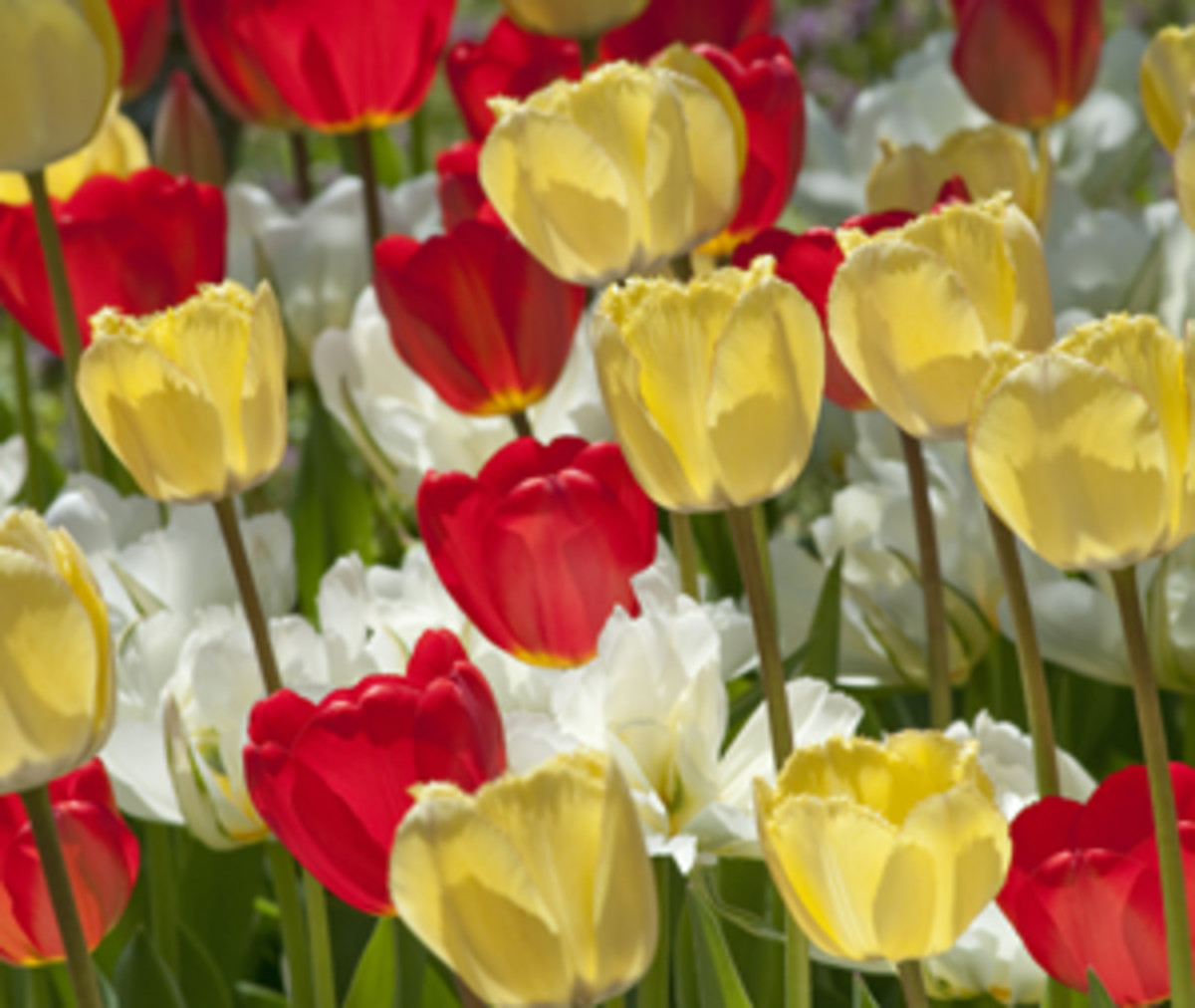 AboveTheCloud Tulips Horticulture