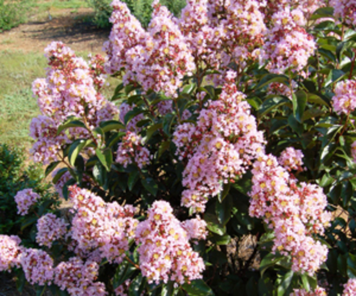 Pink Pig Mid Size Crapemyrtle