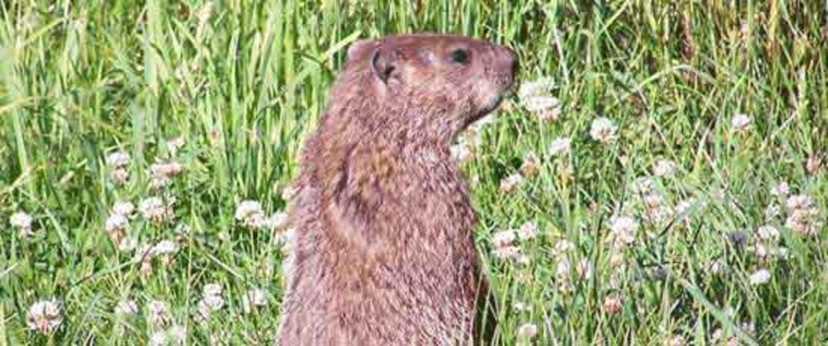 Keeping Woodchucks Out HorticultureHorticulture