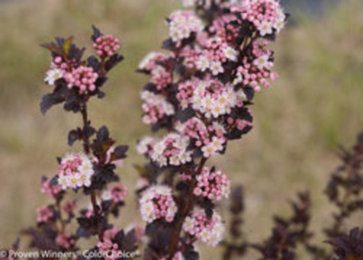 tiny wine ninebark flowers