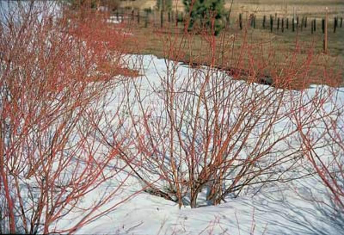 cornus sericea dogwood