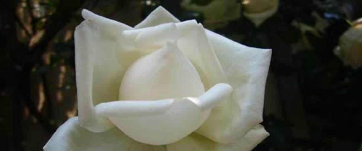 Shinsetsu rose