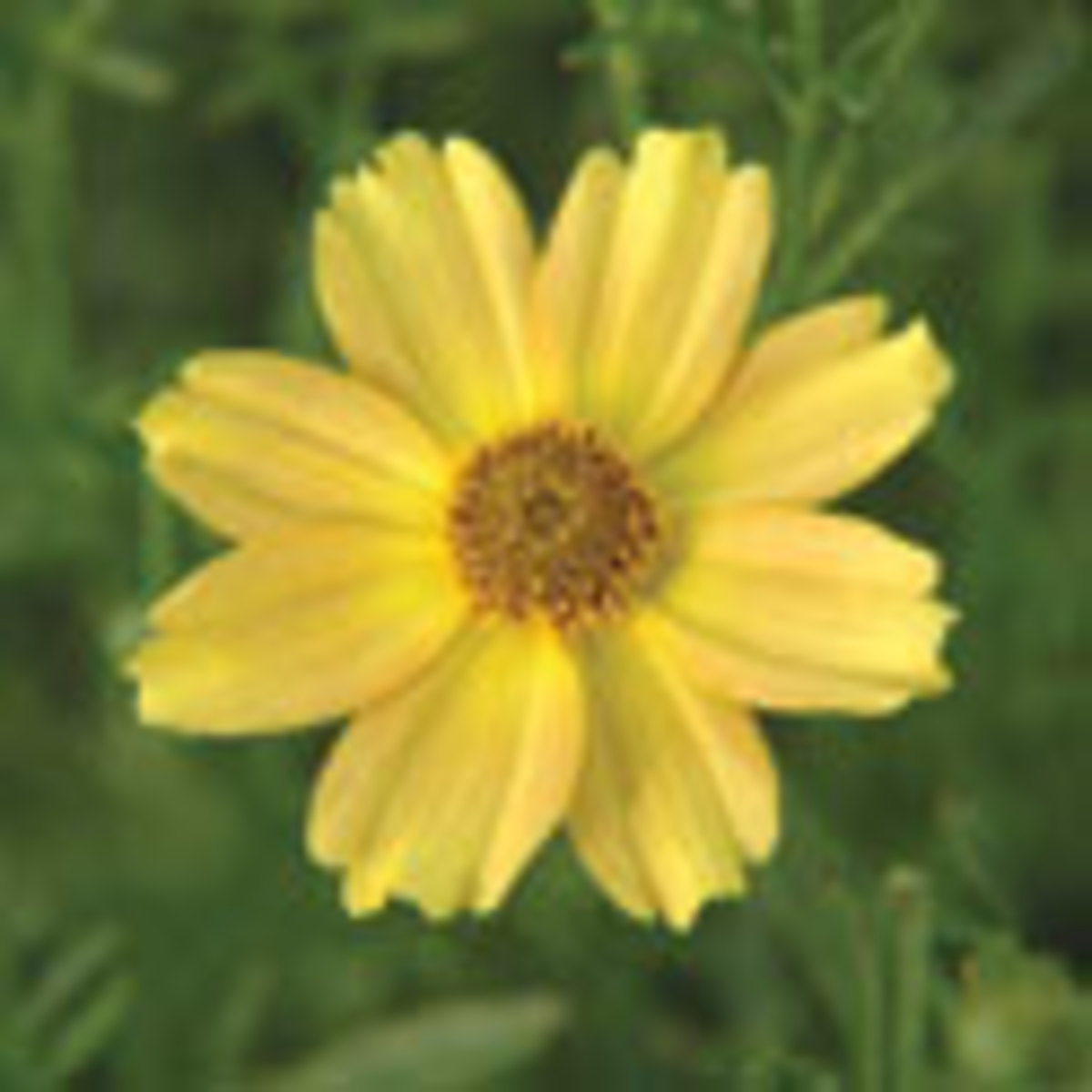 Coreopsis 'Golden Dream'