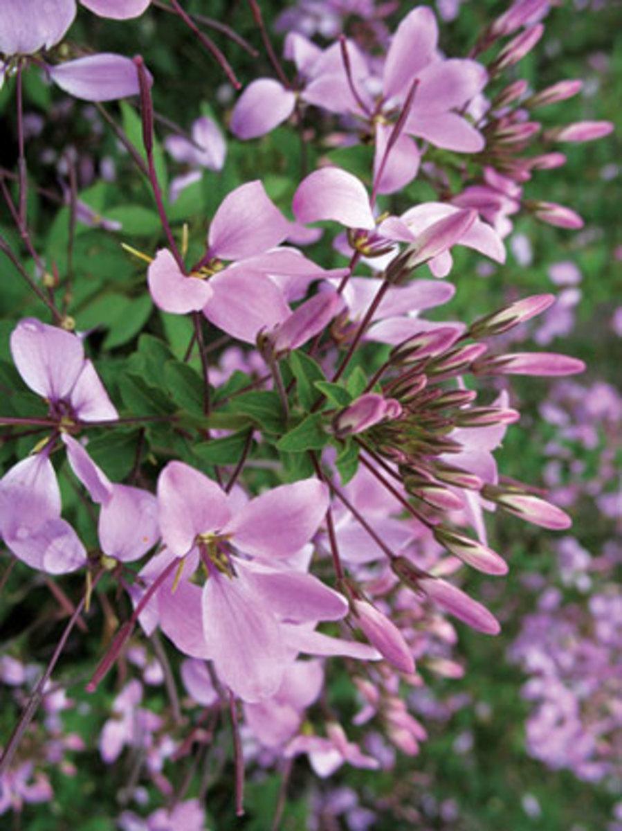 Lavender-pink blooms of Cleome Senorita Rosalita