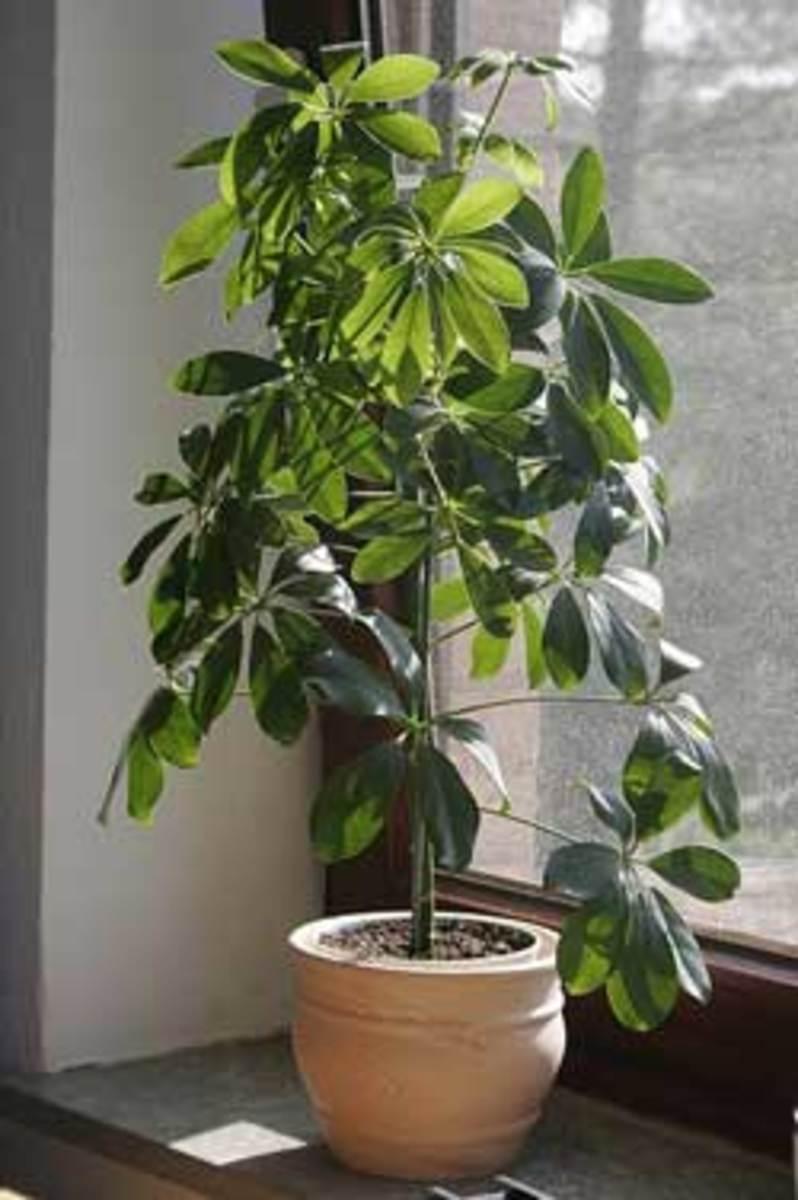 Schefflera plant Houseplant